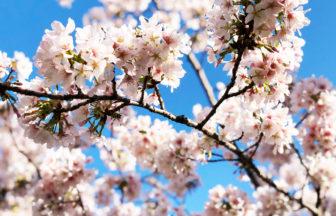 【大船】玉縄桜