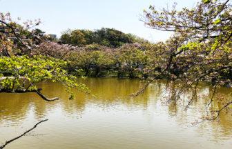 【大船】亀の背後に黒い陰・驚かない結末が!谷戸池桜は散ってしまいましたが緑は濃く