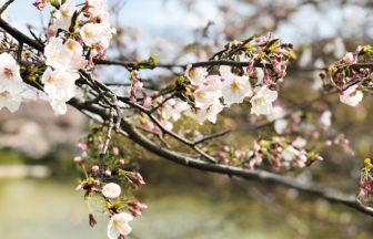 【大船】谷戸池の桜は5分咲きくらい・穏やかな平日の午後に人がいない桜スポット